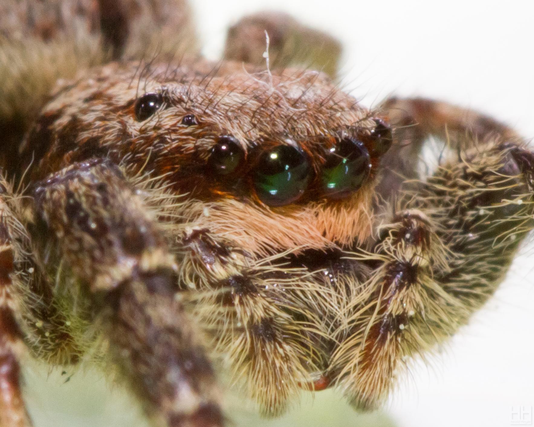 Biiig Jumping Spider - Head Crop